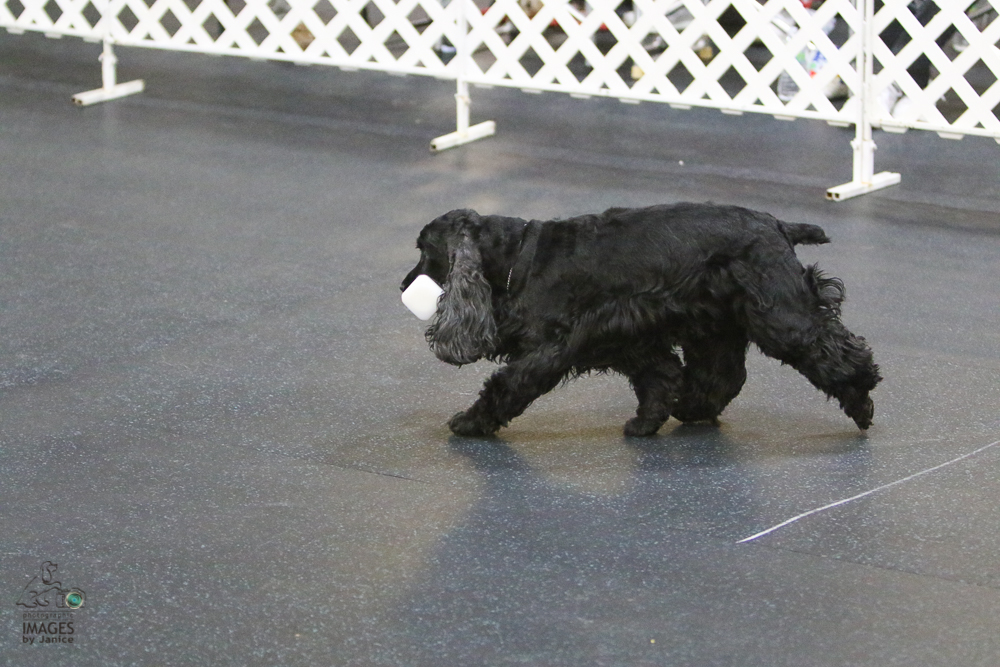 English Cocker retrieving